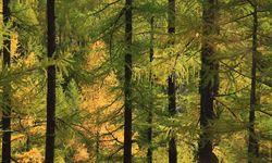 Illuminated golden larch forest