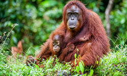Orangutans in the rainforest