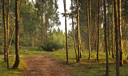Eucalyptus Trees in Etiopia
