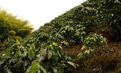 Coffee Plants in Risaralda