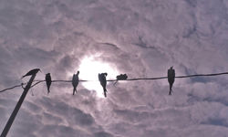 Silhouettes of Birds on a Wire - Peru