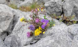 A picture of the Flora and Fauna of the Burren