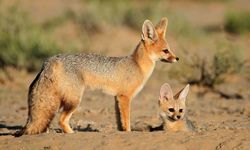 Foxes in the Kalahari