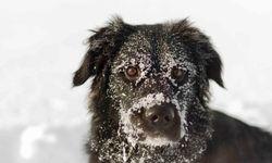 A Snowy Dog