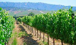 Vineyard in Central Valley