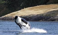 Orco in Tofino