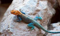 Southern Kenya lizard