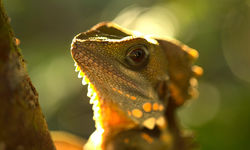 Boyds Forest Dragon, Queensland