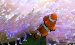 Clownfish, great barrier reef