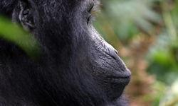 mountain gorilla side face