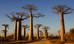 Baobab Grove Morondava