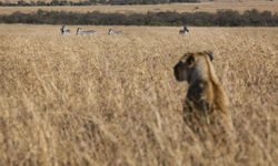 Lion in Zimbabwe Stalking Prey