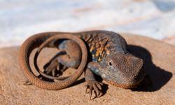 Red Barred Dragon, Flinders Ranges