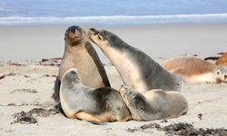 Seals on Kangaroo Island