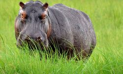 Hippo in the grass