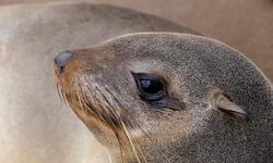 Seal on the Skeleton Coast