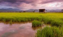 Borneo hut on stilts over paddies