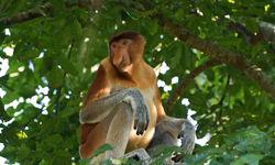 Proboscis monkey in tree