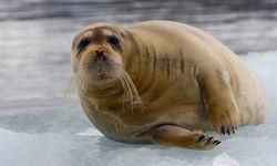 Bartrobbe bearded seal