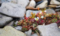 Svalbard flowers