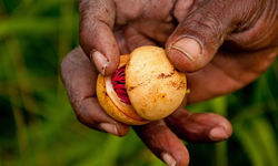 Cocoa bean in Grenada