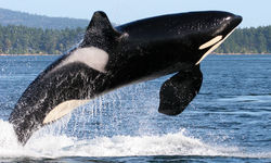 Orca breaching in the San Juan Islands