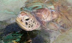 Bequia Turtle