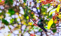 Cuban emerald bird