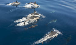 Dolphins swimming in the water off The Azores