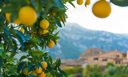 Orange tree in Mallorca