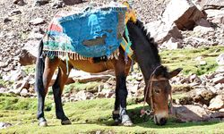 Donkey in the Atlas mountains
