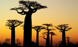 Sunset baobabs in Madagascar