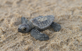 young turtle at the beach