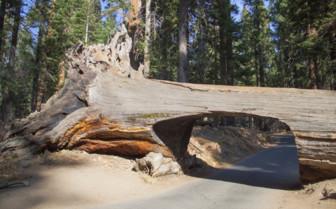 A Fallen Tree Carved into a bridge