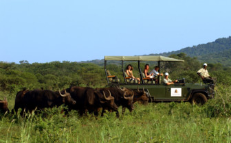 Buffalo viewing on game drive at Thanda Private Game Reserve