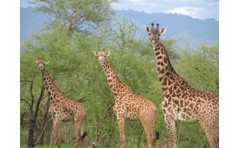 Giraffes at Manyara Ranch wildlife exterior
