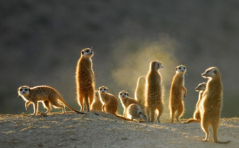 Meerkats at Tswalu camp