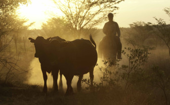 Cattle mustering at the camp