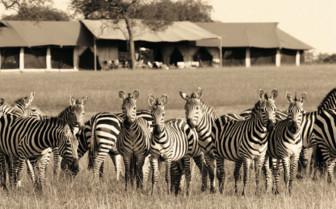 Zebras in front of Singita Sabora Tented Camp, luxury camp in Tanzania