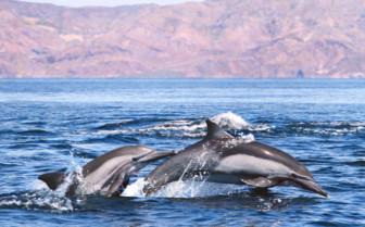 Dolphin Pod, Baja California
