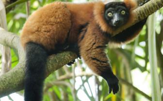 Red Vari Lemur, Madagascar