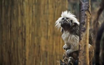 Tamarin Monkey, Madagascar