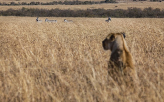 Lioness in Gorongosa, Mozambique