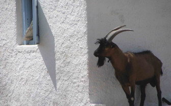 A Goat Peering Around a Corner