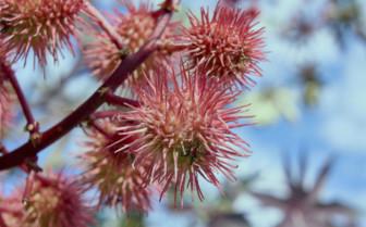 A Spiny Pink Fruit