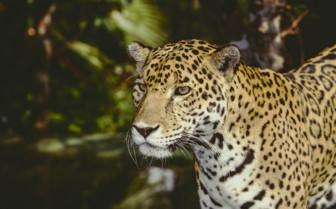 Jaguar in the Jungle in Belize