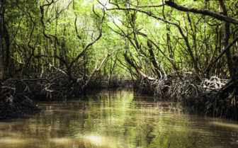 Mangroves on Andamans