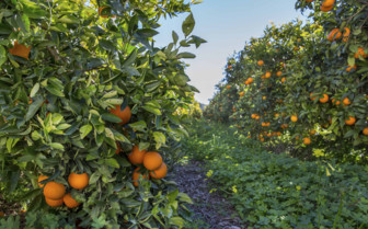 A Citrus Grove in Eastern Spain
