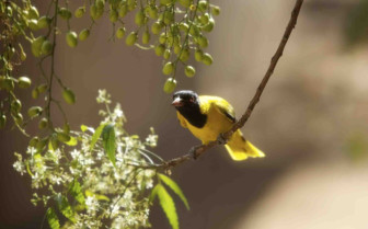 A Yellow Oriole on a Branch