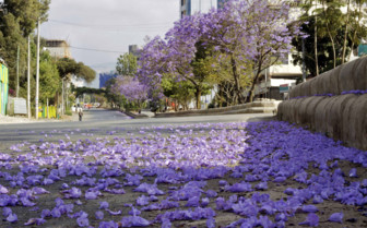 Jacaranda Blooms in the Streets of Addis Ababa